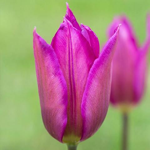 Тюльпан Лилиевидный Lilac Time