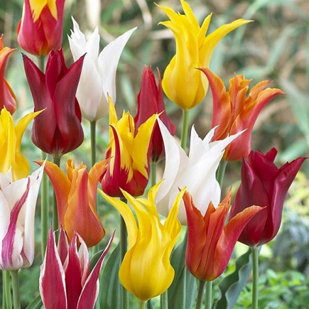 Тюльпан Лилиевидный смесь