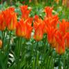 Тюльпан Лилиевидный Lilyfire