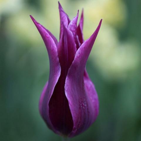 Тюльпан Лилиевидный Maytime