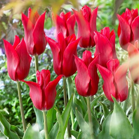 Тюльпан Лилиевидный Pieter de Leur
