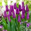Тюльпан Лилиевидный Purple Dream