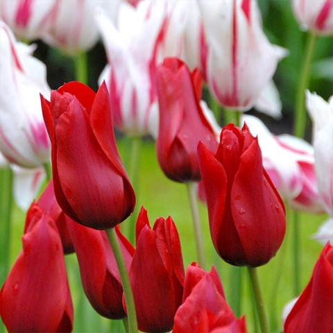Тюльпан Лилиевидный Red Shine