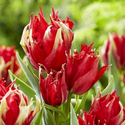 Тюльпан Лилиевидный Red Spider