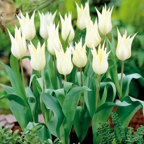 Тюльпан Лилиевидный Sapporo