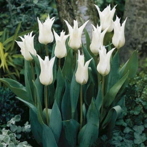 Тюльпан Лилиевидный Tres Chic