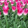 Тюльпан Лілієподібний Whispering Dream