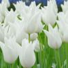 Тюльпан Лилиевидный White Elegance