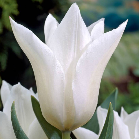 Тюльпан лилиевидный White Triumphator