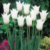 Тюльпан лілієподібний White Triumphator