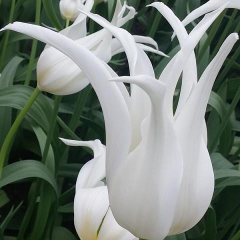 Тюльпан Лилиевидный White Star