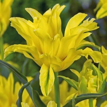 Тюльпан Лілієподібний Yellow Spider Ексклюзив
