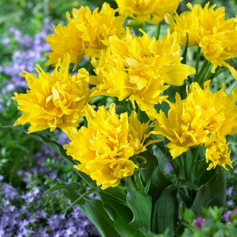 Тюльпан Лилиевидный Yellow Spider Эксклюзив