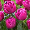 Тюльпан махровий Double you