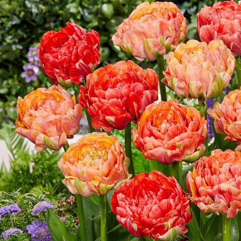 Тюльпан Махровий Gudoshnik Double
