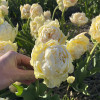 Тюльпан Махровый Piste