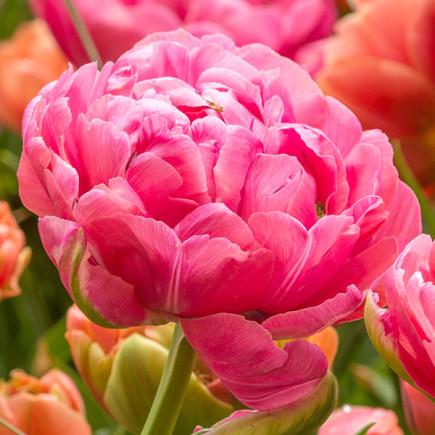 Тюльпан Махровый Amazing Grace