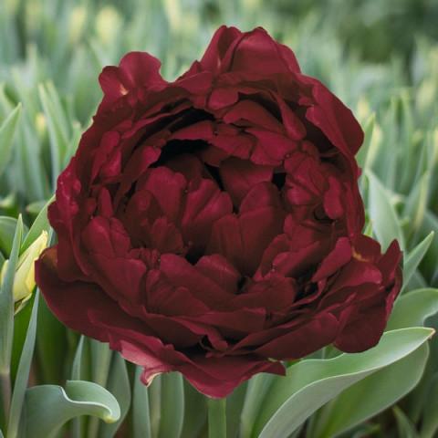 Тюльпан Махровый Antraciet