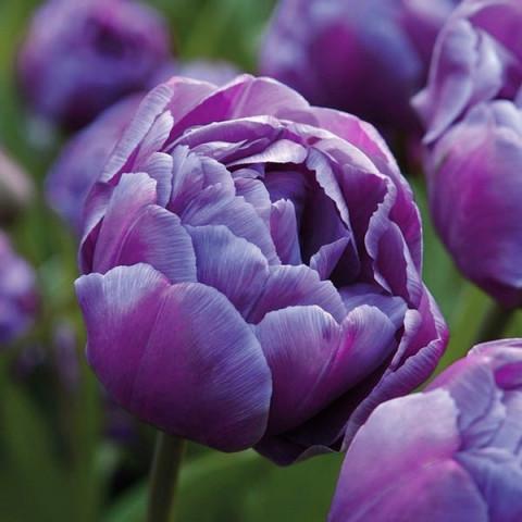 Тюльпан Махровый Blue Diamоnd