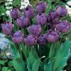 Тюльпан Махровий Blue Diamоnd