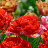 Тюльпан Махровый Bombastic Red
