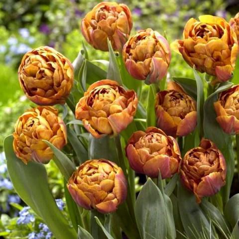 Тюльпан Махровый Brownie
