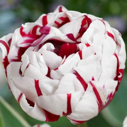 Тюльпан Махровый Carnaval de Nice