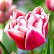 Тюльпаны Махровые (поздние)