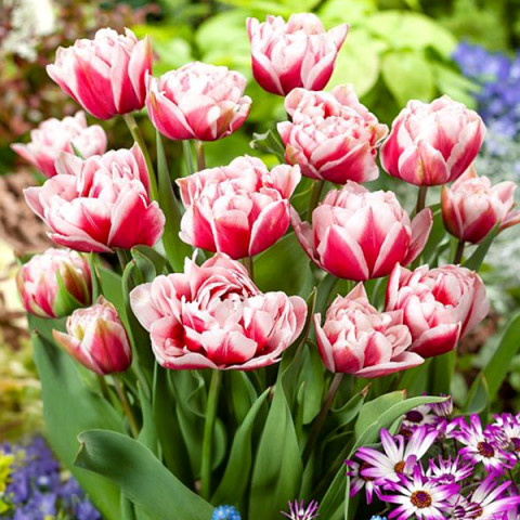 Тюльпан Махровий Chandelier