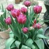 Тюльпан Махровый Chato