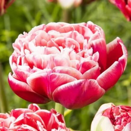 Тюльпан Махровый Dazzling Sensation