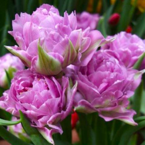 Тюльпан Махровий Double Price