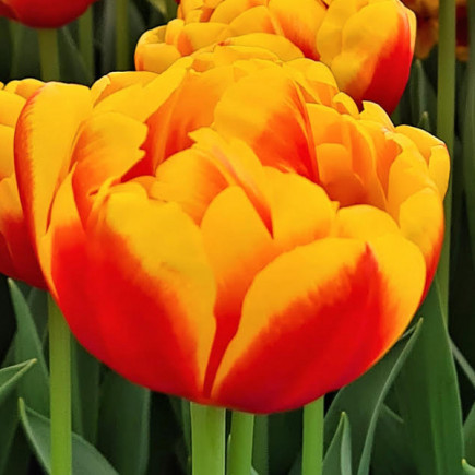 Тюльпан Махровий Double Focus