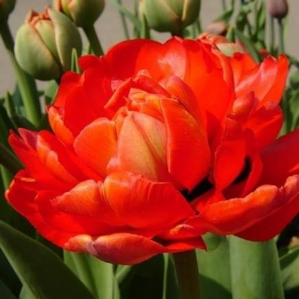 Тюльпан Махровий Electra