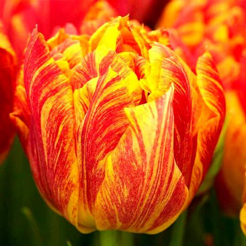 Тюльпан Махровый Flaming Baby