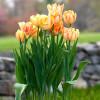Тюльпан Махровий Foxy Foxtrot