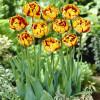 Тюльпан Махровий Golden Nizza