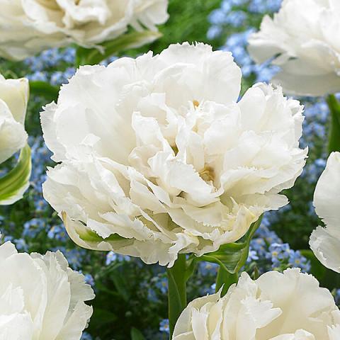 Тюльпан Махровий Grobina