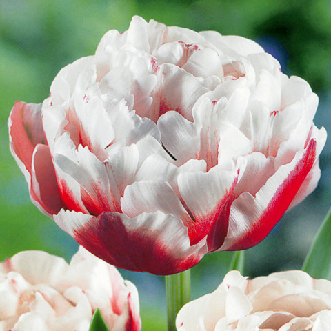 Тюльпан Махровий Horizon