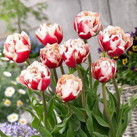 Тюльпан Махровый Horizon