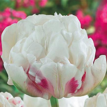 Тюльпан Махровий Ice Wonder