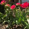 Тюльпан Махровий Justina