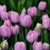 Тюльпан Махровый Katinka