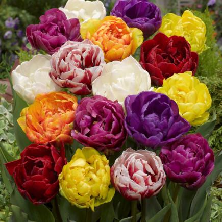 Тюльпан Махровий суміш
