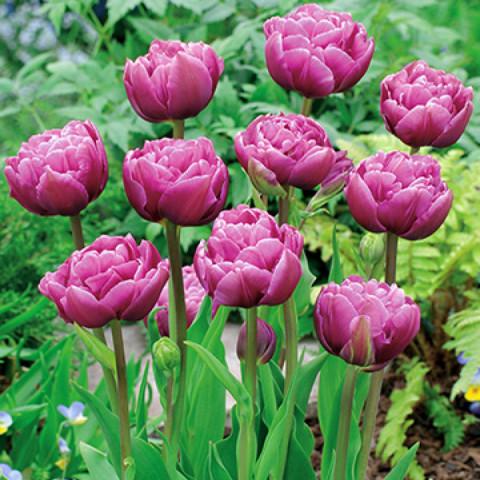 Тюльпан Махровый Margarita