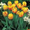 Тюльпан Махровий Monsella