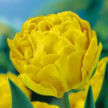 Тюльпан Махровий Monte Carlo