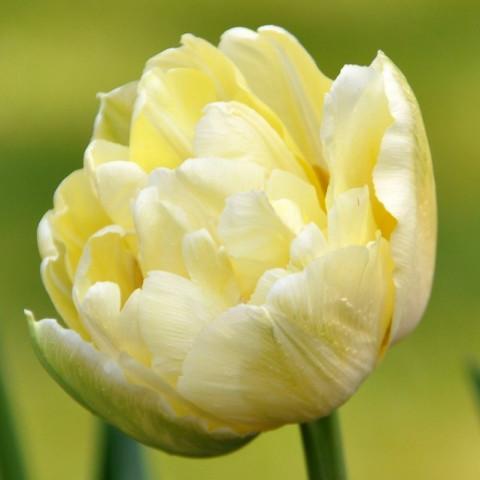Тюльпан Махровый Monte Sweet