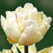 Тюльпаны Махровые (ранние)