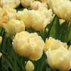 Тюльпан Махровый Montreux